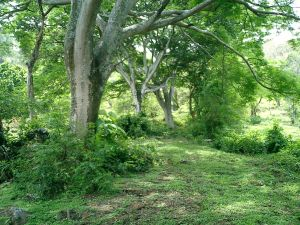 Guanacaste trees farm for sale Atenas Costa Rica