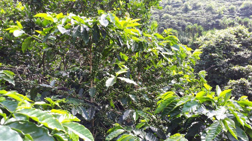 Costa Rica coffee farm for sale near Atenas real estate