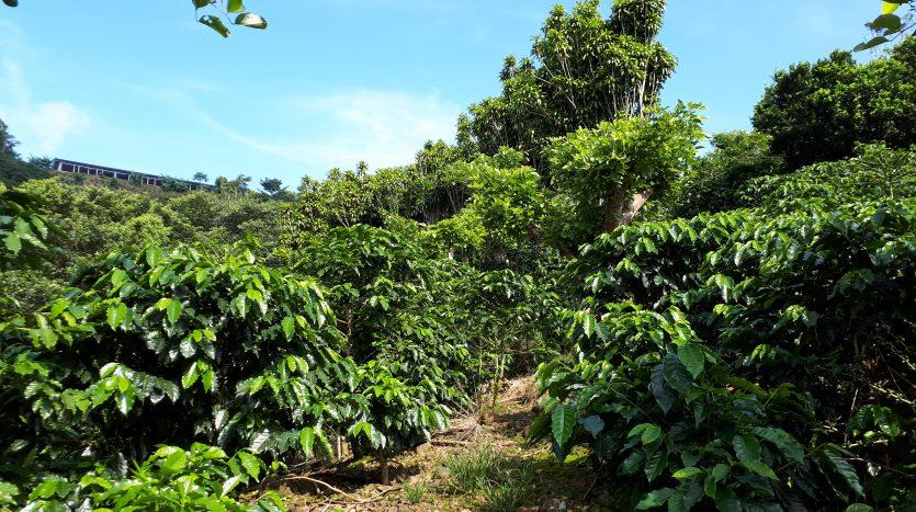 Coffee farm for sale in Atenas Costa Rica